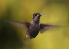 hummingbird Foto de Stock