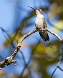 hummingbird Foto de Stock Royalty Free