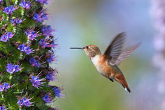 hummingbird Fotos de archivo