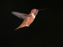 hummingbird Royaltyfri Foto
