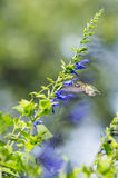hummingbird Arkivfoto