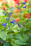 hummingbird Royaltyfri Bild
