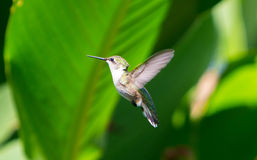 hummingbird royaltyfria foton