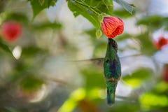 hummingbird Royaltyfria Foton