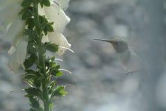 hummingbird fotografía de archivo