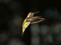 Hummingbird. A photo of a hovering Hummingbird stock images