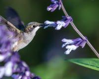 hummingbird Fotografia Stock