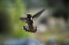 Hummingbird. In flight in summer Royalty Free Stock Photos