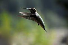 Hummingbird. In flight in summer Stock Photo