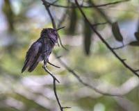 hummingbird Стоковые Изображения RF