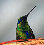 Hummingbird. Perched hummingbird with captioning space royalty free stock photography