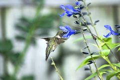 Hummingbird. A hummingbird gathering nectar from a bright blue salvia flower Royalty Free Stock Image