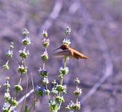 hummingbird Стоковая Фотография