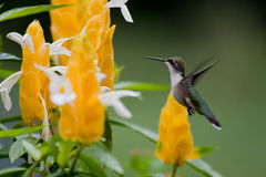 Hummingbird. Ruby-Throated Hummingbird at Yellow Shrimp Plant royalty free stock photos