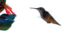 Hummingbird. In flight with flower and white background Royalty Free Stock Image