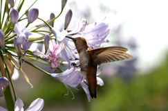 Hummingbird Royalty Free Stock Photo