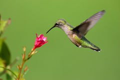 Free Hummingbird Stock Images - 7001764