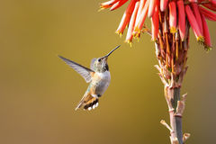 hummingbird Immagine Stock
