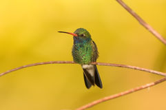 Free Hummingbird Royalty Free Stock Photography - 7747877