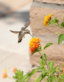 Hummingbird. Hovering in front of a flower stock photos