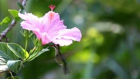 hummingbird lager videofilmer