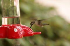 hummingbird Стоковое Изображение RF