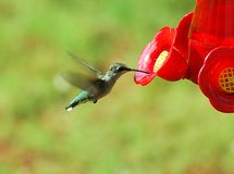 Hummingbird. Photographed Hummingbird feeding on nectar in our backyard Royalty Free Stock Photos