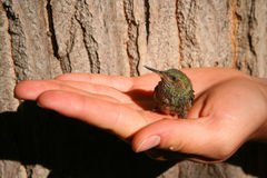 Hummingbird. Little green hummingbird in a protective hand stock photo