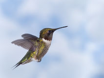Hummingbird. Ruby-throated hummingbird in flight Royalty Free Stock Photo