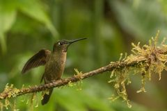 hummingbird Fotografie Stock