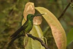 hummingbird Arkivbilder