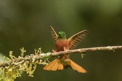 hummingbird Immagine Stock Libera da Diritti