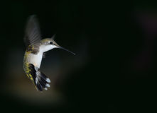 Hummingbird akcja Zdjęcie Stock