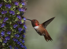 Hummingbird. Allen's Hummingbird in flower garden Royalty Free Stock Photos