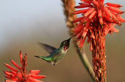 Hummingbird and aloe flowers stock image