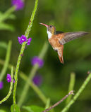hummingbird amazilia стоковое фото