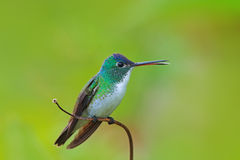 Hummingbird Andean Emerald, Amazilia franciae, with clear green background, Colombia Stock Photo