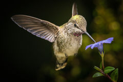 Hummingbird in angled direction with blue flower Stock Photos
