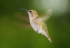 Hummingbird. This is Anna's Hummingbird in motion Stock Photos