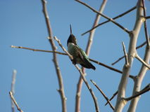 Hummingbird Royalty Free Stock Images