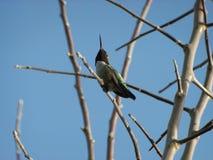 Hummingbird Royalty Free Stock Images