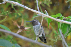 Hummingbird. Anna`s Hummingbird sitting on a branch of a tree Royalty Free Stock Photo