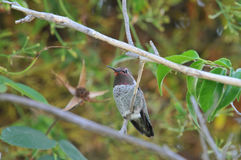 Hummingbird. Anna`s Hummingbird sitting on a branch of a tree Royalty Free Stock Image