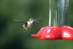 Hummingbird Approach Royalty Free Stock Photos