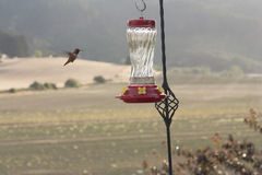 Hummingbird Approaching a Feeder. A hummingbird approaches a feeder in the summer Royalty Free Stock Images