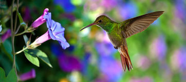Hummingbird (archilochus colubris) in Flight over Purple Flowers Royalty Free Stock Photos