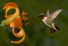 Hummingbird (archilochus colubris) in Flight. With tropical flowers on green background royalty free stock image