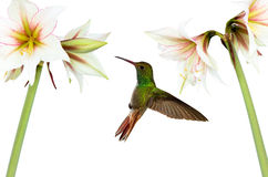 Hummingbird (archilochus colubris) in flight Stock Photos
