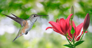 Hummingbird (archilochus colubris) Flying over Green Background Stock Photos