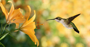 Hummingbird (archilochus colubris) hovering next to a yellow lil. Hummingbird (archilochus colubris) in flight with tropical lily flowers over green background stock image